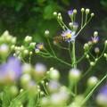 紫苑(シオン)の花に@びんご運動公園