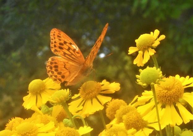 ヘレニウムの花に豹紋蝶さん@びんご運動公園