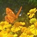 Photos: ヘレニウムの花に豹紋蝶さん@びんご運動公園