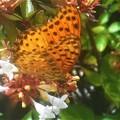 アベリアの花に ツマグロヒョウモン(♂)@新高山