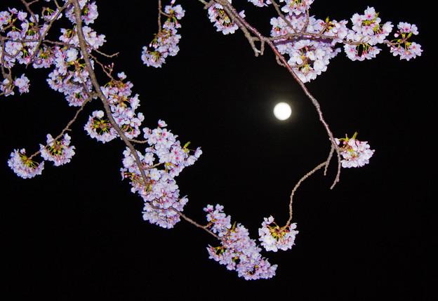 夜桜とブルームーン