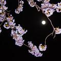 写真: 夜桜とブルームーン