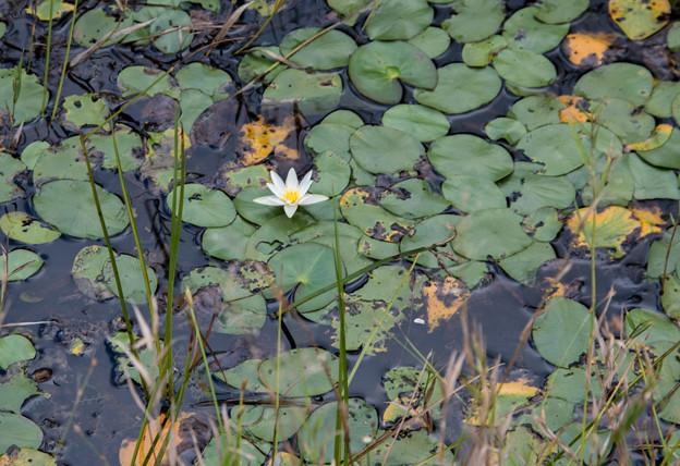 湿原で-ヒツジグサ大群生-1