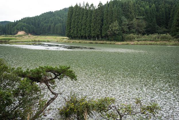湿原で-ヒツジグサ大群生-3