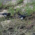 カササギ 幼鳥-4