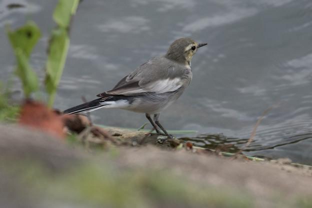 ハクセキレイ 幼鳥-2