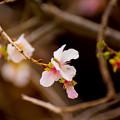 冬の桜-3