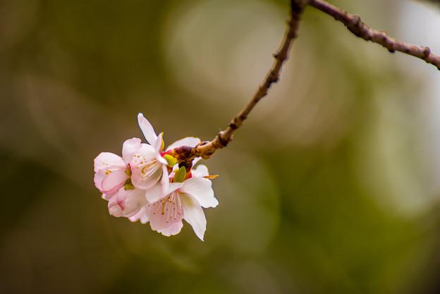 冬の桜-4