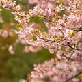Photos: 河津桜19-4