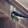 燕 巣作り (6)