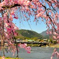 桜の似合う嵐山