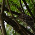 写真: 猛禽の眼光