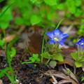 Photos: 春リンドウ、