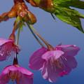 Photos: 早春に咲き誇る
