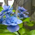紫陽花(補色CCD機)5