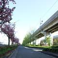 桜とイチョウの街路樹