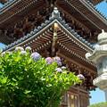 紫陽花寺にて6