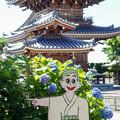 写真: 紫陽花寺にて7(あっち~)