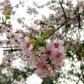 Photos: 満開のヒマラヤ桜