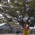 Photos: 古からの木