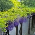 写真: 紫と緑の回廊