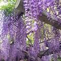 写真: 藤の花鮮やかに