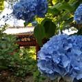 写真: 門の片隅で紫陽花の出迎え