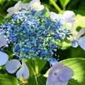 写真: 紫陽花寺にて