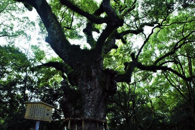 熱田の杜、大楠木