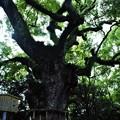写真: 熱田の杜、大楠木