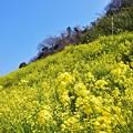 閏住の菜の花