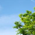 写真: ケヤキと青空