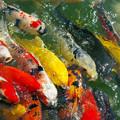 写真: 錦鯉