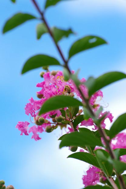 写真: サルスベリと蜂