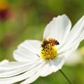 写真: コスモスに蜂