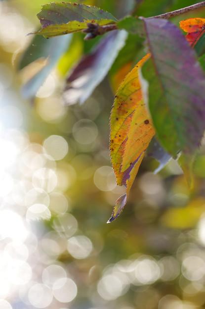 桜の葉と玉ボケ