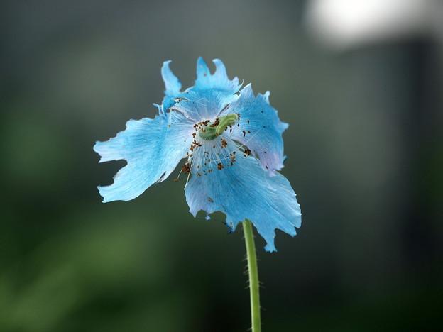 ヒマラヤの青いケシ(5)