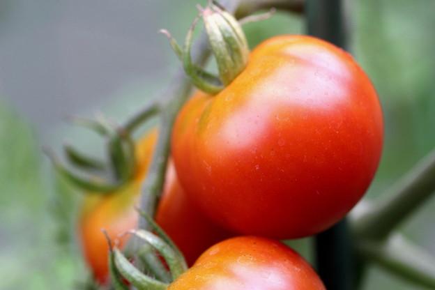 トマト(3)
