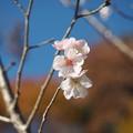 十月桜(3)