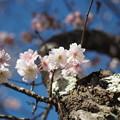 十月桜(4)