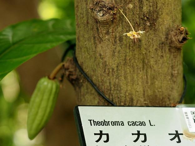 カカオの花(参考)