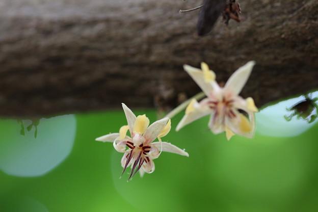 カカオの花(1)