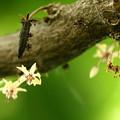 カカオの花(2)