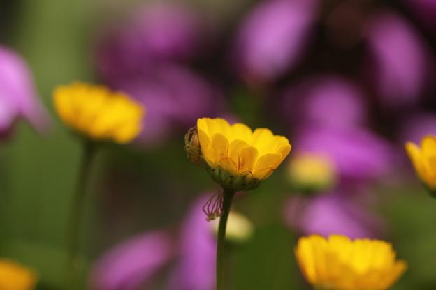 庭の黄色い花(1)