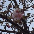 写真: さくら 咲く!