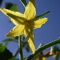 写真: ミニトマトの花
