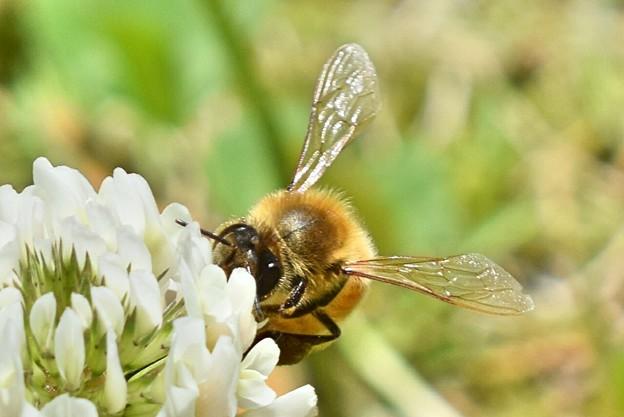 シロツメグサにミツバチさん