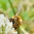 写真: シロツメグサにミツバチさん