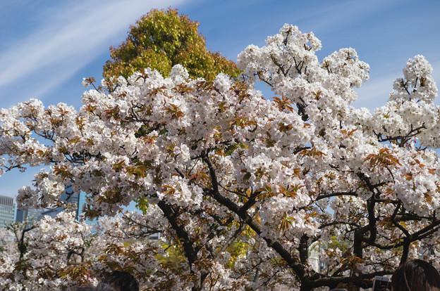 造幣局 桜の通り抜け 2019 (15)