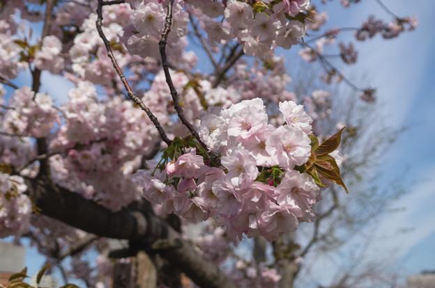 造幣局 桜の通り抜け 2019 (16)